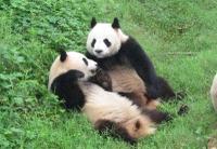 Panda6_4